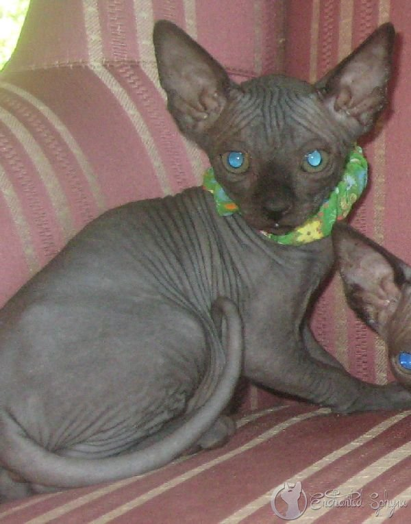 Copy-3-of-SPHYNX-KITTENS-JULY022.jpg