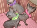 SPHYNX-YOUNGEST-KITTENS-UPDAT046.jpg