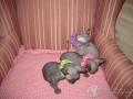 SPHYNX-YOUNGEST-KITTENS-UPDAT047.jpg
