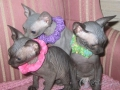 SPHYNX-YOUNGEST-KITTENS-UPDAT056.jpg